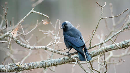 A Western/Eurasian/European Jackdaw (Corvus monedula) or simply a Jackdaw perching on an oak branch. The Jackdaw is a passerine bird in the crow family. Here in Uppland, Sweden