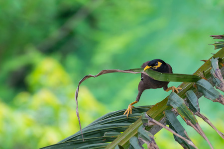common myna bird: Bird hold coconut leaf by his beak on the tree Stock Photo
