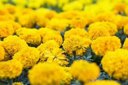 Many marigold  flowers in the park with sun light