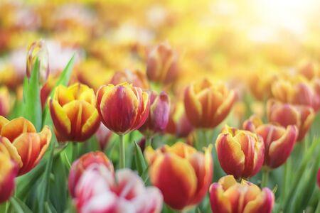 Red yellow tulip flower Stock Photo