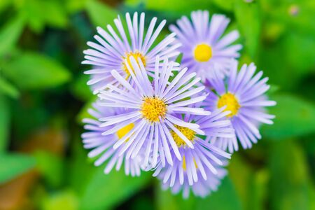Purple flowers in the park called aster