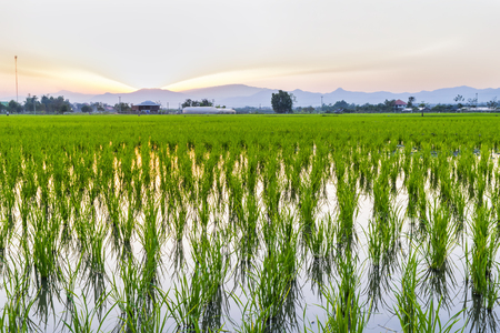 Rice field at the sunset time with nice sky