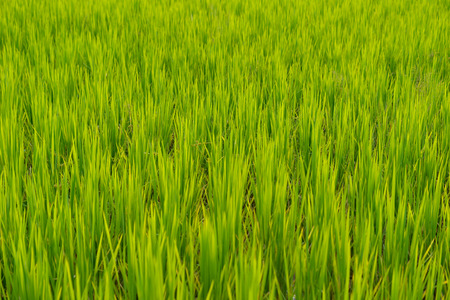 Background of rice field