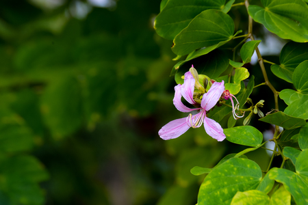 Pink flower Purple Bauhinia and green leaves with copy space Stock Photo