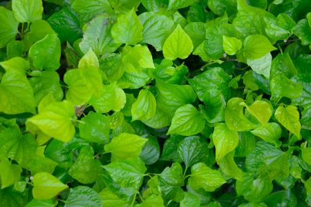 Green Wildbetal Leafbush background