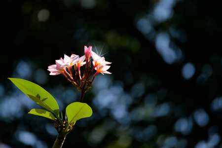 White pink Plumeria flower on its tree with dark background and copy space