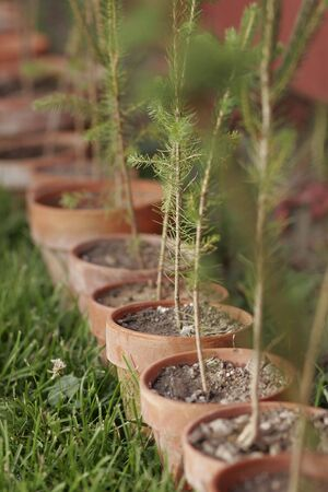 Row of Potted Pine Trees Stock Photo
