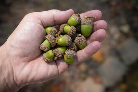 Green Acorns from an Oak Tree in Autumn