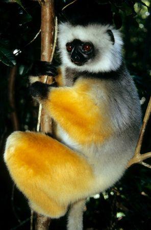 Lemur Reklamní fotografie