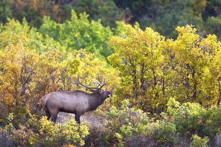 bull elk bugling in rut with fall colors