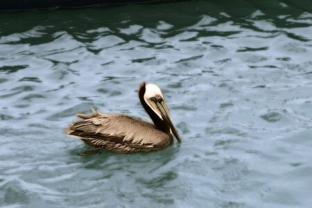 Pelican swimming in the water, artisically styled Banco de Imagens