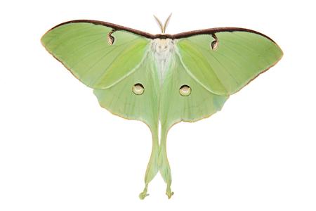 Isolierte Luna Moth ((Actias luna) über weißem Hintergrund  Standard-Bild