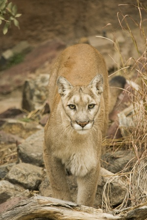 stares: mountain lion stares out at the camera looking fierce