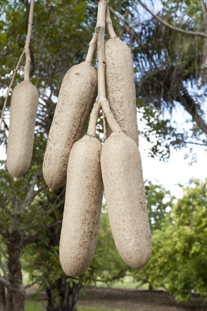 africana: Fruit from the African Sausage Tree hangs from its vine.The genus name comes from the Mozambican Bantu name, kigeli-keia, while the common name Sausage Tree refers to the long, sausage-like fruit. Stock Photo