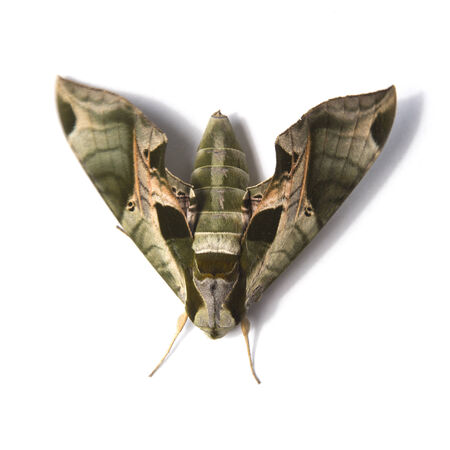 Sphinx Moth isolated on white
