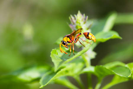 abdomen yellow jacket: yellow wasp