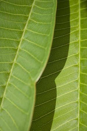黄色の葉脈のある葉のグリーン ・ プルメリアのクローズ アップ 写真素材