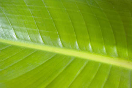 large green and yellow banana leaf closeup background Banco de Imagens