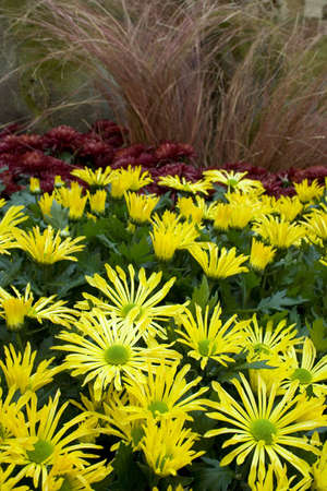 magenta flowers: yellow and magenta flowers in garden with focus on front