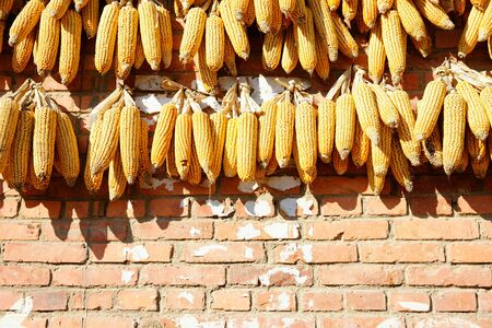 drying corn cobs: Yellow corn cobs hanged on an orange brick wall drying in the sun, China.