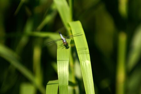 Silver golden color dragonfly sitting resting on green leaf drying wings in the morning sun. Stock Photo