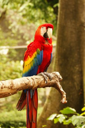 Red blue parrot sitting on wooden branch looking at me in camera in the forrest at daytime.