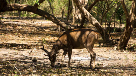 One brown young deer feeding itself by bending and eating from the ground in the forrest at midday.