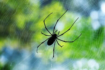 Silhouette black thin spider sitting and waiting on its prey in the middle of its web in the morning.