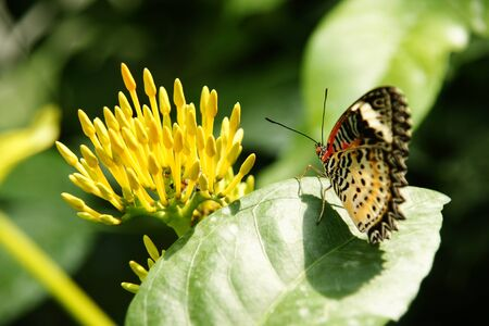 Backside view of yellow orange colorful butterfly with its wings upwards sitting on green leaf looking at yellow flower. Stock Photo