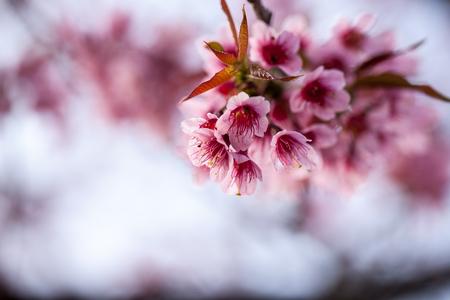 wild Himalayan Cherry flower (Prunus cerasoides), selective focus Stock Photo
