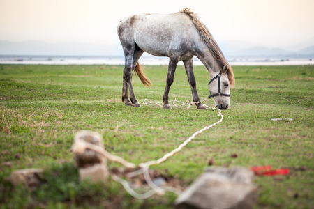 tethered: horse tethered in a field Stock Photo