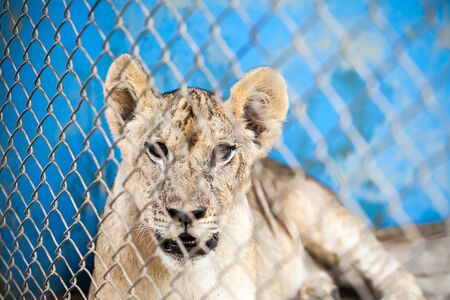Lion Cub in cage Stock Photo