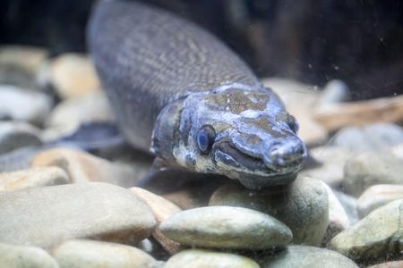 Alligator Fish (Atractosteus spatula)