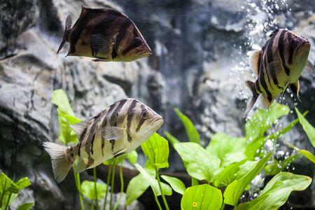 tetrazona: Siamese tiger fish Stock Photo