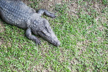 Crocodile on green grass, top view