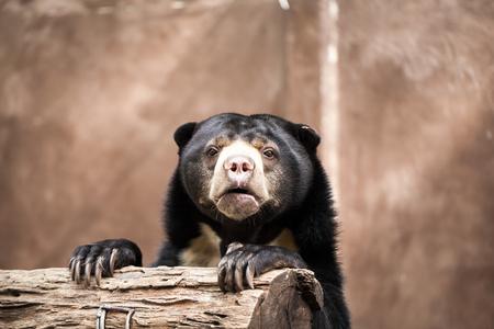 Malayan Sun Bear (Helarctos malayanus) Imagens