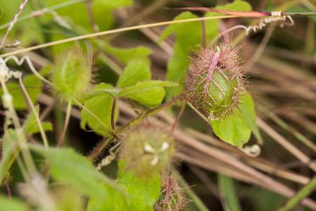 Close up of Passiflora foetida (Fetid passionflower)