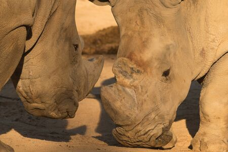 Rhinoceros couple fighting on the ground at Madrid zoo in Spain
