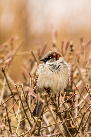 Male or female house sparrow or Passer domesticus is a bird of the sparrow family Passeridae, found in most parts of the world Stock Photo