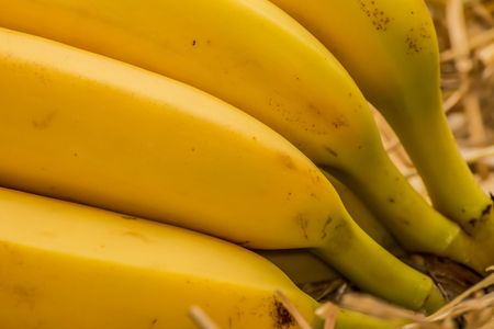 fairtrade: Organic bananas latin – musa, a product of eco agriculture are important part of not only vegans and vegetarians diet but are healthy for all people containing vitamin B-6, manganese, vitamin C, copper, fiber, potassium. Banana fruits on natural str Stock Photo