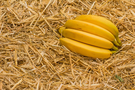 fairtrade: Organic bananas latin – musa, a product of eco agriculture are important part of not only vegans and vegetarians diet but are healthy for all people containing vitamin B-6, manganese, vitamin C, copper, fiber, potassium. Banana fruits on natural str