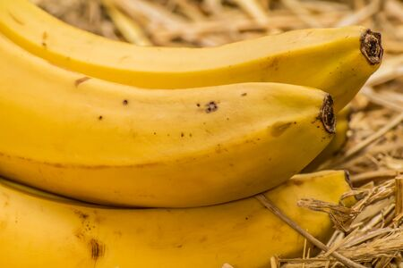 fairtrade: Organic bananas latin – musa, a product of eco agriculture are important part of not only vegans and vegetarians diet but are healthy for all people containing vitamin B-6, manganese, vitamin C, copper, fiber, potassium. Banana fruits on natural straw b
