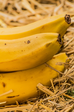 Organic bananas latin – musa, a product of eco agriculture are important part of not only vegans and vegetarians diet but are healthy for all people containing vitamin B-6, manganese, vitamin C, copper, fiber, potassium. Banana fruits on natural straw b