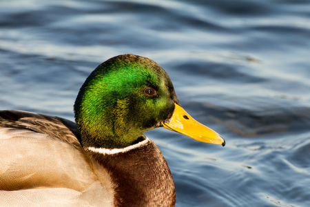 pato real: Male mallard or wild duck, Anas platyrhynchos. Close-up