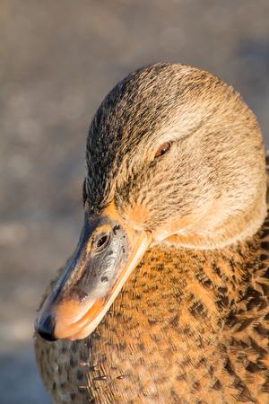 Female mallard or wild duck, Anas platyrhynchos. Close-up Stock Photo