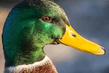 Male mallard or wild duck, Anas platyrhynchos. Close-up