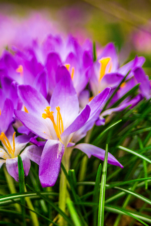 yellow stamens: Crocus, plural crocuses or croci is a genus of flowering plants in the iris family. A single crocus, a bunch of crocuses, a meadow full of crocuses, close-up crocus Stock Photo