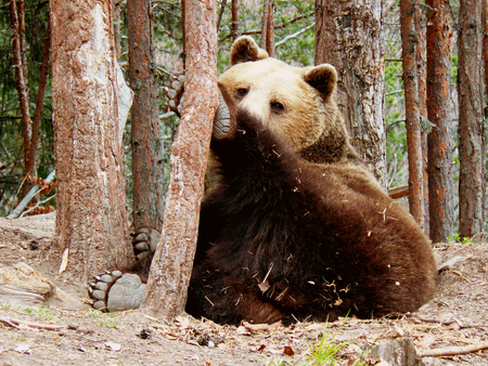 huge tree: Brown bear lying under pine trees in Rila Mountain, Bulgaria