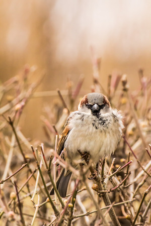 Male house sparrow or Passer domesticus is a bird of the sparrow family Passeridae, found in most parts of the world