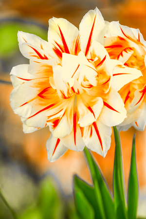 Tulips, tulipa blooming in spring time, dyed with a wide variety of colors Stock Photo